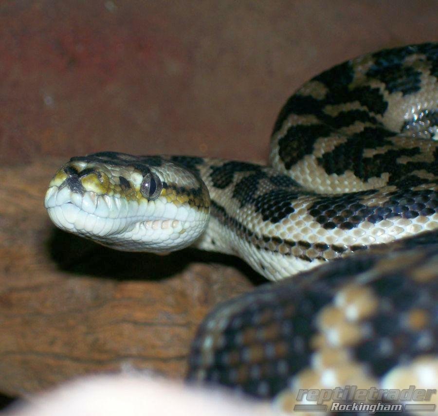 South Western Carpet Python Reptle Trader