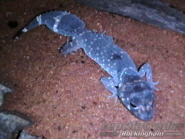 Cat 3 Reptiles Reptle Trader