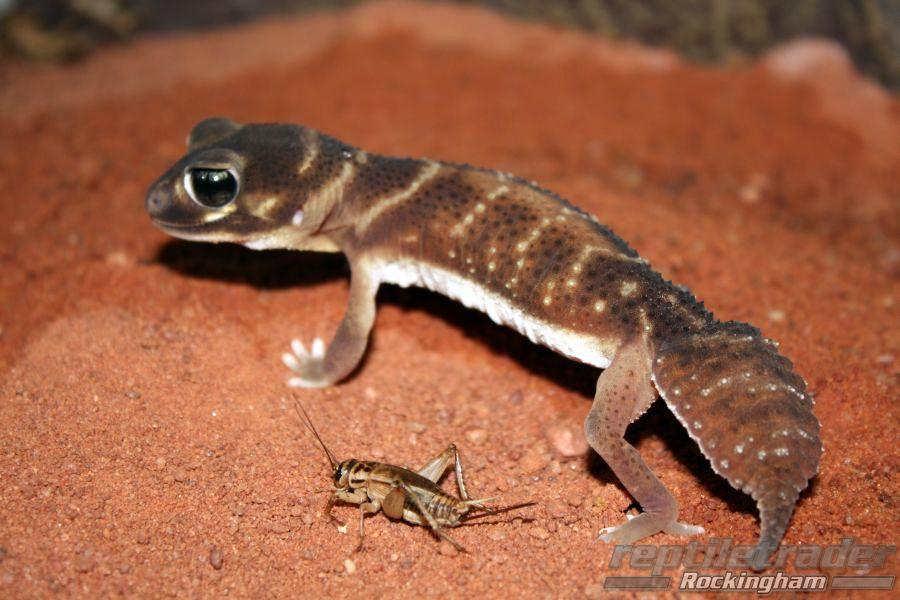 Three Lined Knob Tailed Gecko Reptle Trader