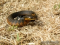 2010-11-11-tiger-snake-capture-036