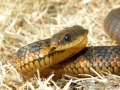 2010-11-11-tiger-snake-capture-042