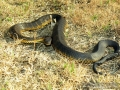 2010-11-11-tiger-snake-capture-050