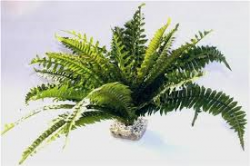 giant water fern
